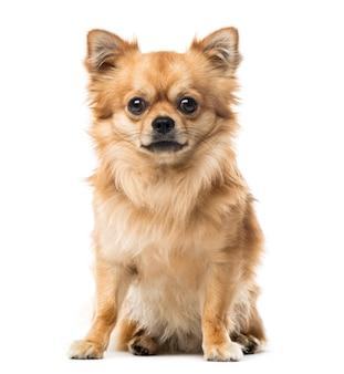 Chihuahua siedzi, na białym tle