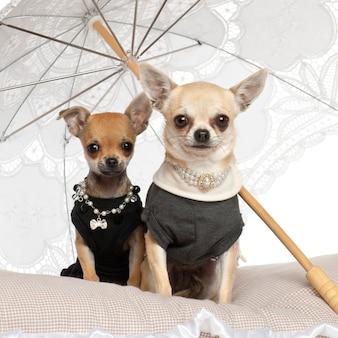 Chihuahua siedzi pod parasolem przeciw białemu tłu