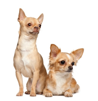 Chihuahua siedzi przeciw białemu tłu