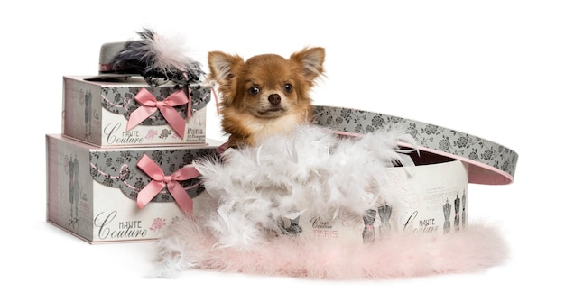 Chihuahua siedzi w polu ubrania na białym tle