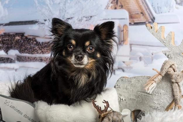 Chihuahua siedzi w saniach przed zimową sceną