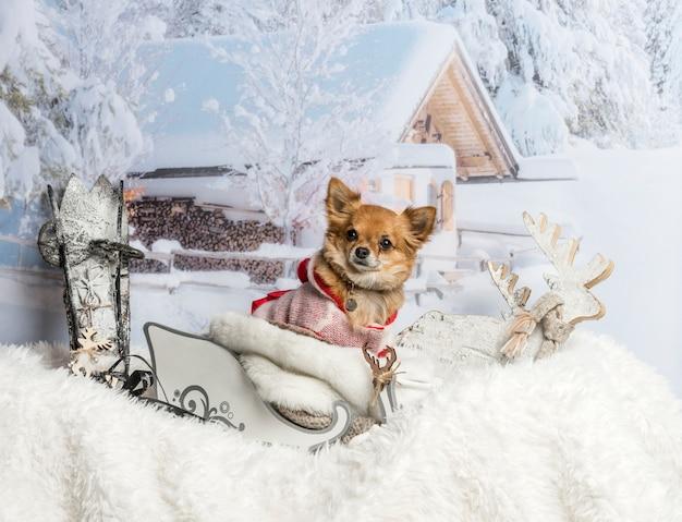 Chihuahua siedzi w saniach w zimowej scenie, portret