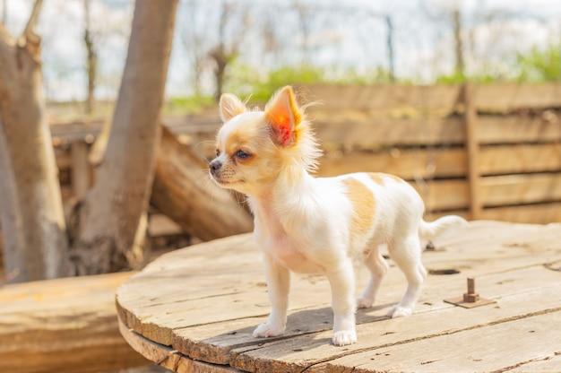 Chihuahua stoi na stole ogrodowym. pies spaceruje po parku. chihuahua brązowy i biały.