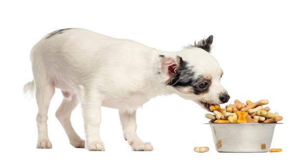Chihuahua szczeniak je psich ciastka od pucharu odizolowywającego na bielu