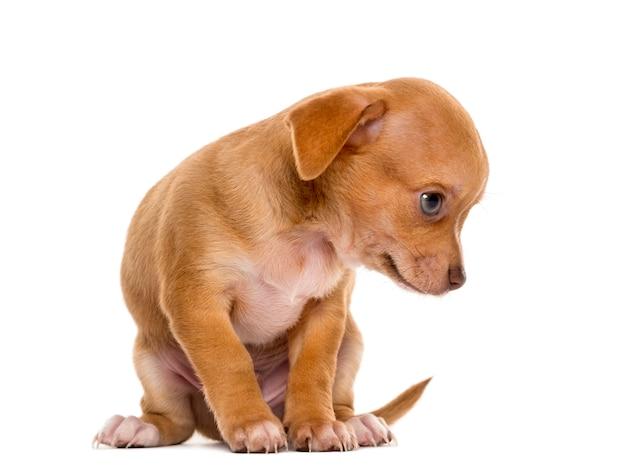 Chihuahua szczeniak siedział przed białą ścianą