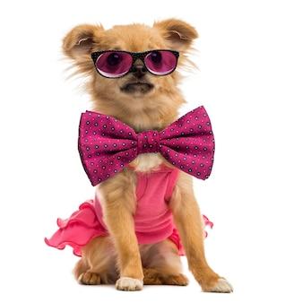 Chihuahua szczeniak ubrany w różową koszulę, okulary i muszkę