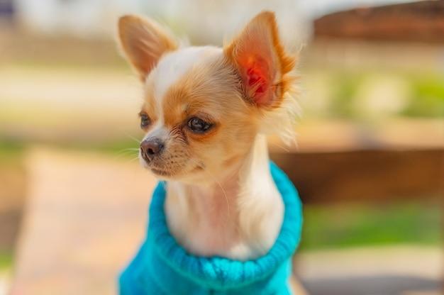 Chihuahua szczeniak w niebieskim swetrze. biały pies portret w parku wiosną. chihuahua biały.
