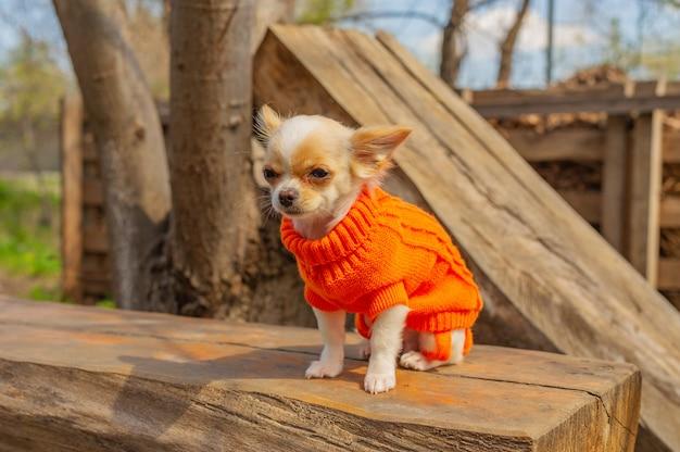 Chihuahua szczeniak w pomarańczowym swetrze. biały pies portret w parku wiosną. chihuahua, ogród, park