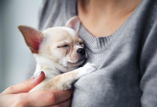Chihuahua szczeniak w rękach dziewczyny z ładnym manicure.