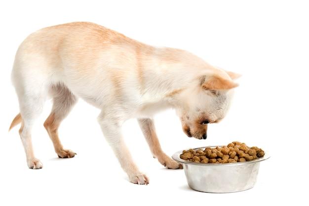 Chihuahua szczeniaka i miska na jedzenie