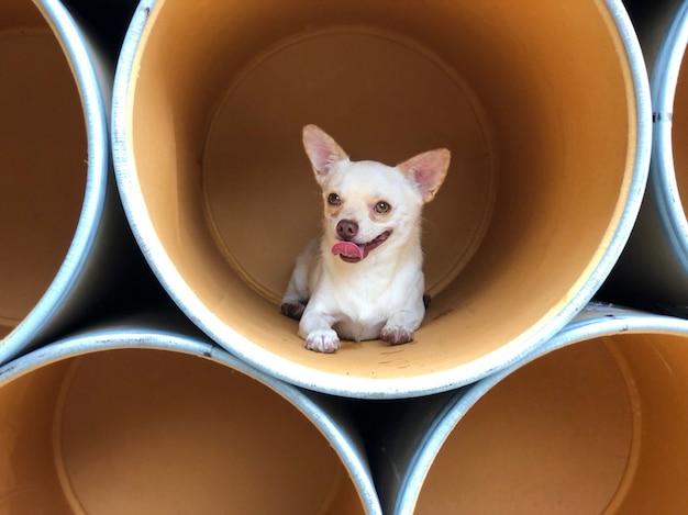 Chihuahua szczeniaka lying on the beach w papierowej wiadro lub papierowej tubce, śliczny kieł.