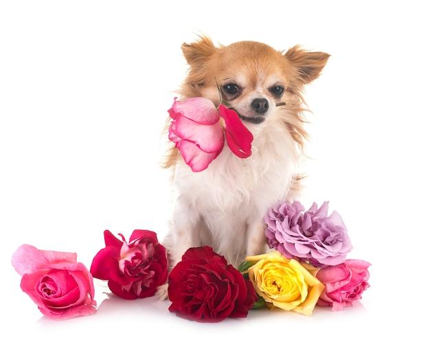 Chihuahua szczeniaka przed białym