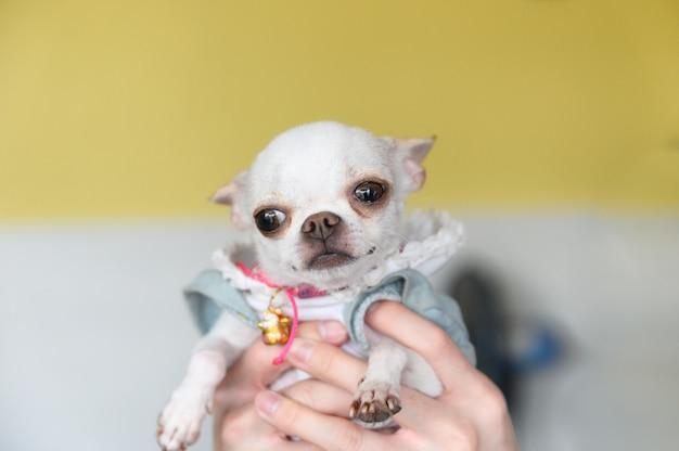 Chihuahua szczeniaka ręki mienie