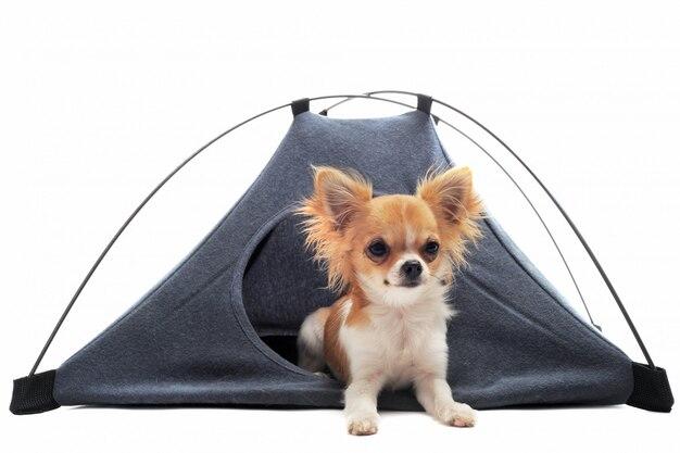 Chihuahua szczeniaka w namiocie obozowym