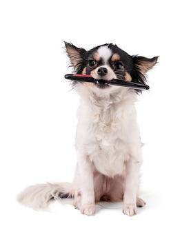 Chihuahua trzymający grzebień w ustach na białym tle