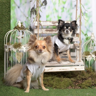 Chihuahua w białej koszuli, w dekoracji pasterskiej