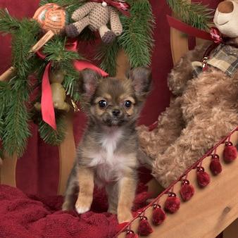 Chihuahua w dekoracji świątecznej