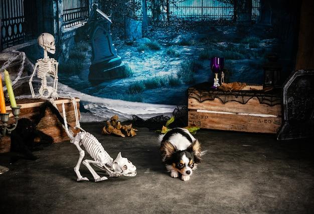 Chihuahua w halloweenowej scenerii ze szkieletami