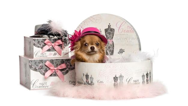 Chihuahua w kapeluszu w polu ubrania na białym tle