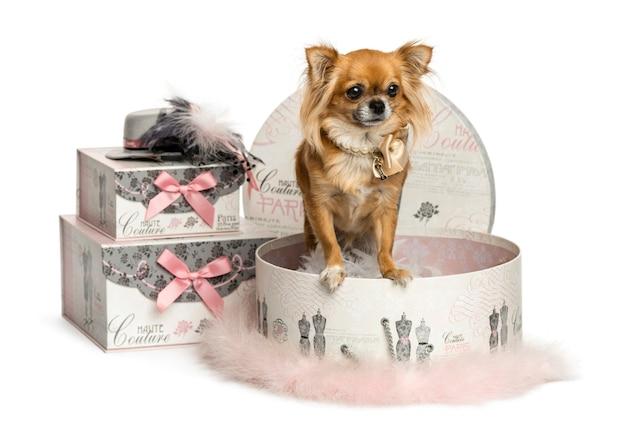 Chihuahua w polu ubrania na białym tle