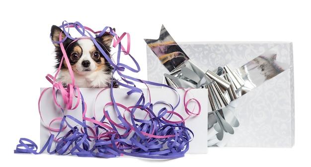 Chihuahua w prezentowym pudełku z serpentynami
