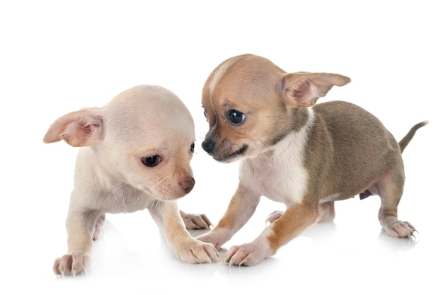 Chihuahua w studio