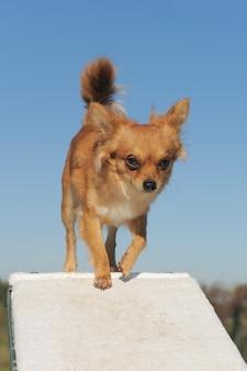 Chihuahua w zawodach agility