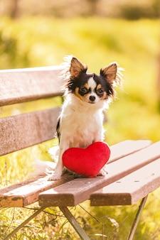 Chihuahua z czerwonym sercem, siedząc na ławce na zewnątrz