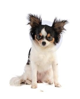 Chihuahua z jednym kołnierzem i jednym zamkniętym okiem