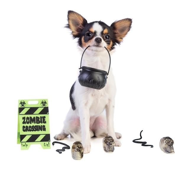 Chihuahua z kulls dla hallowenn na białym tle