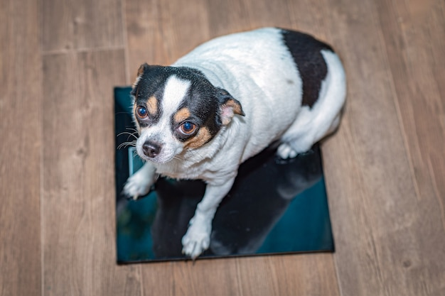 Chihuahua z nadwagą siedzi na wadze podłogowej.