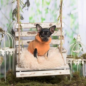 Chihuahua z pomarańczową kurtką na poduszce w dekoracji pasterskiej