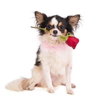 Chihuahua z różą w ustach dla uczczenia miłości na białej powierzchni