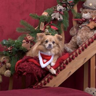 Chihuahua z szalikiem w świątecznej dekoracji