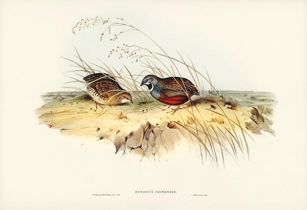 Chińska przepiórka (synoicus chinensis) zilustrowana przez elizabeth gould