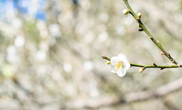 Chińska śliwka lub japońska morela, piękny biały kwiat na morela ogródu tle