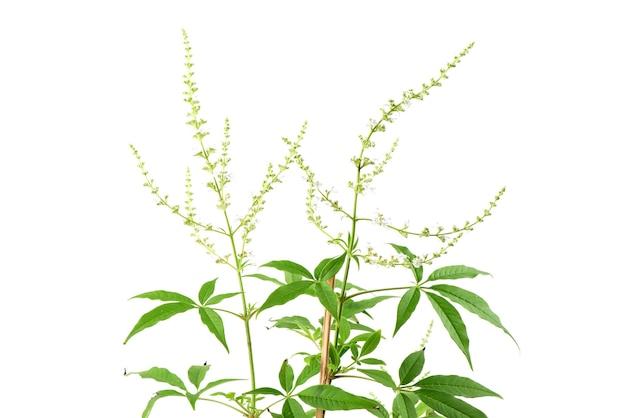 Chiński chaste lub vitex negundo kwiaty i zielone liście na białym tle.