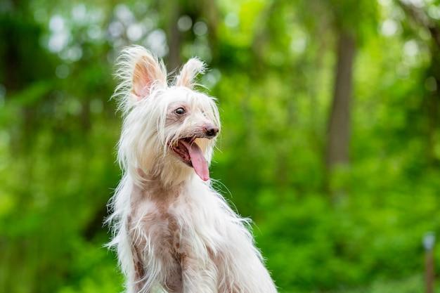 Chiński czubaty pies na zielonych drzewach zamazanych