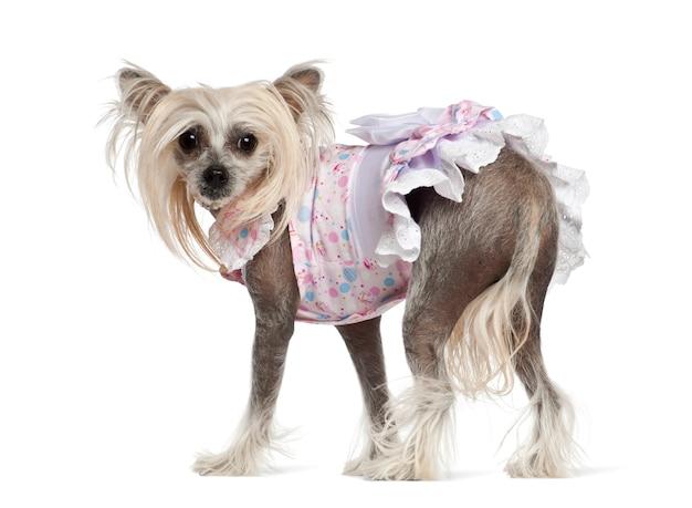 Chiński czubaty pies, stoi przeciw białemu tłu