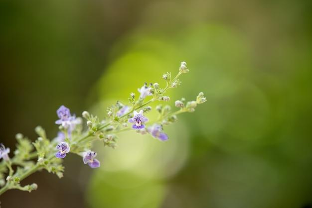 Chińskie kwiaty chaste lub vitex negundo i zielone liście.