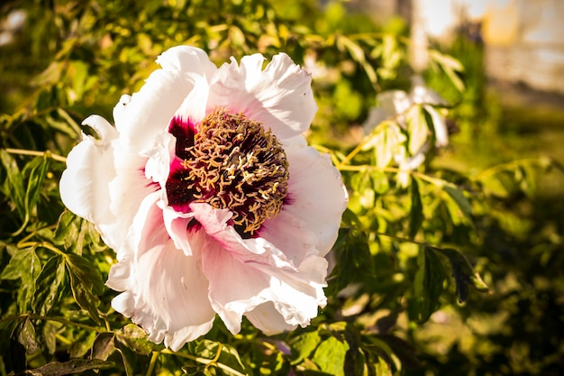 Chiny piwonia kwiat. bukiet białych kwiatów piwonii. drzewna piwonia rozkwita kroplami wody po deszczu, otoczona zielonymi liśćmi.