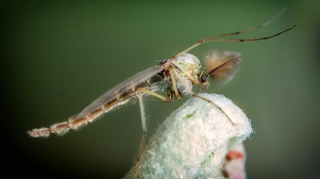 Chironomidae komary ochotkowate makro. komakha siedzą na młodych jabłoniach.