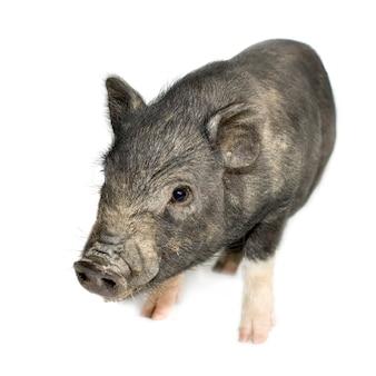 Chlebowa wietnamska brzoskwiniowa świnia z dzikiem na bielu