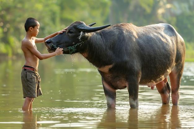 Chłopiec z wiejskiego obszaru tajlandii kąpał się dla swojego bawołu