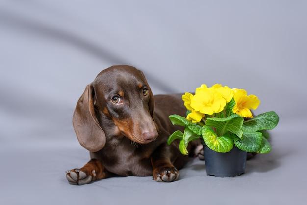 Chockolate mini jamnik z pozdrowieniami i kwiatami