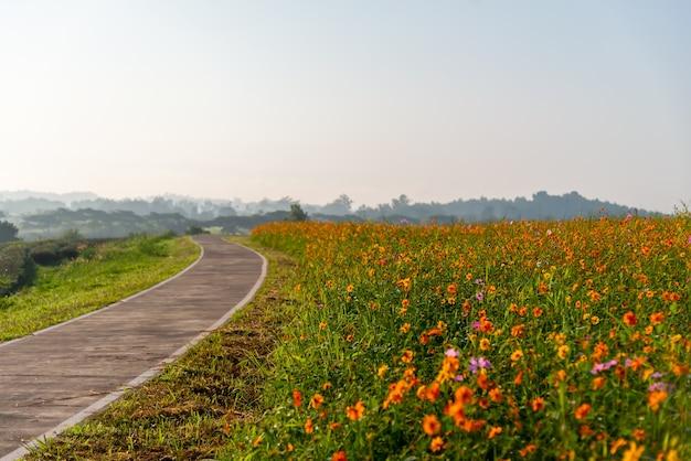 Chodnik w kolorowym ogrodzie kwiatowym kosmosu w ogrodzie
