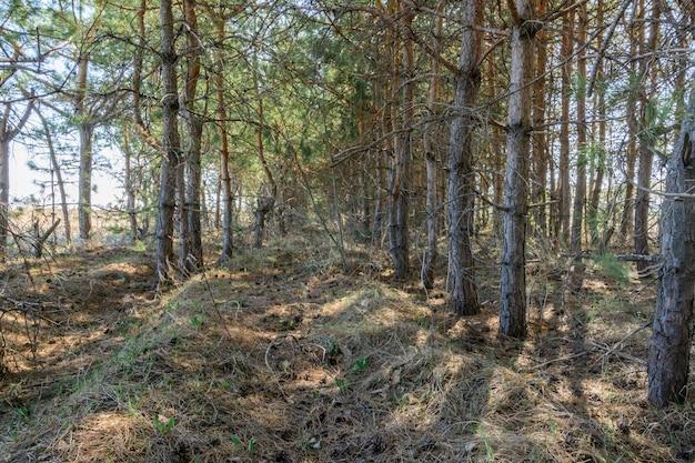 Chodnik wśród sadzenia drzew. sosny w słoneczny dzień wiosny. piękny wiosenny krajobraz.