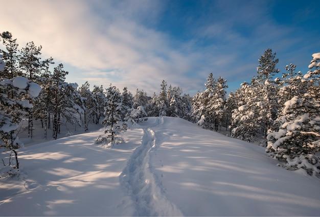 Choinki i szlak w śniegu na wzgórzu w zimowym lesie w laponii