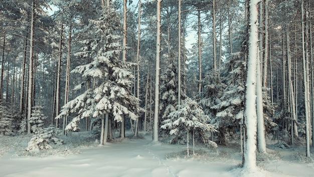 Choinki pokryte świeżym śniegiem w bajecznym zimowym lesie sosnowym po śniegu