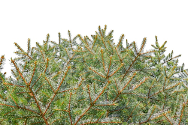 Choinki świerkowe gałęzie na białym tle na szablon nowego roku.